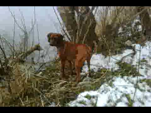 hqdefault jpgRedbone Coonhound Treeing