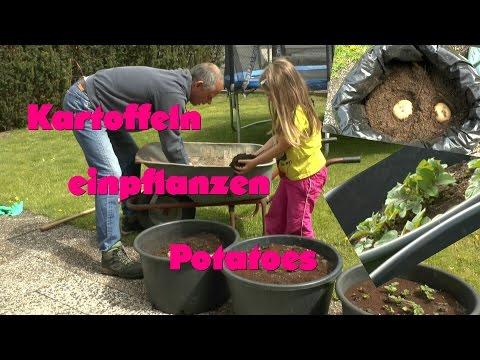 Kartoffeln In Töpfe Und Säcke Pflanzen