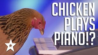 SHOCKING: Chicken Plays Piano?!