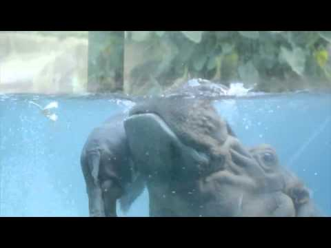 Three-day-old Hippo Gets Swimming Lessons From Mom video