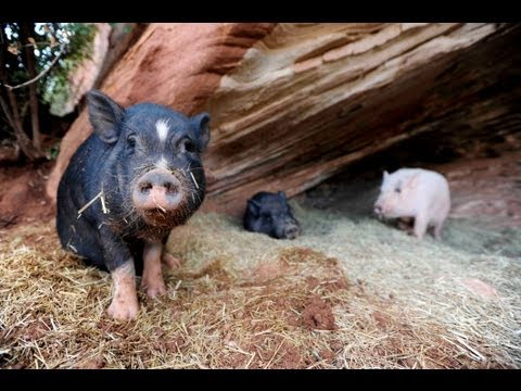 Pigs at Best Friends Animal Sanctuary run for food