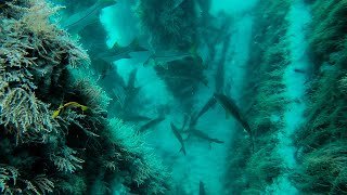 Diving A Bridge Filled With Giant Fish + Spearfishing Catch and Cook