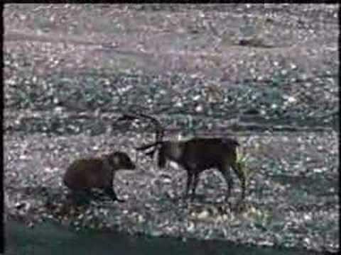 Grizzly Bear vs Caribou