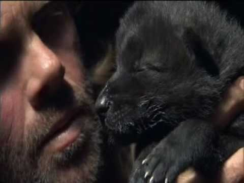 AMAZING TALENT! Wolfman teaches wolf pup to howl