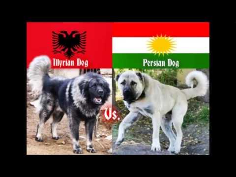 Illyrian Shepherd (Albanian) Vs. Persian Shepherd (Kurdish) -Dog Fight-