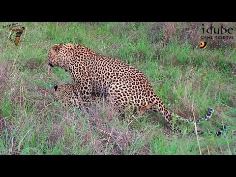 Sex In The Wild: Noisy Pair Of Leopards Mating video