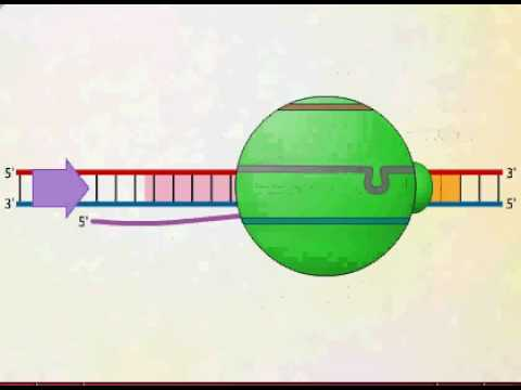 mRNA Synthesis Animation Video