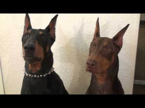 Doberman Disappointment
