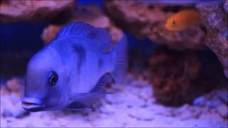 The Malawi Blue Dolphin cichlid video