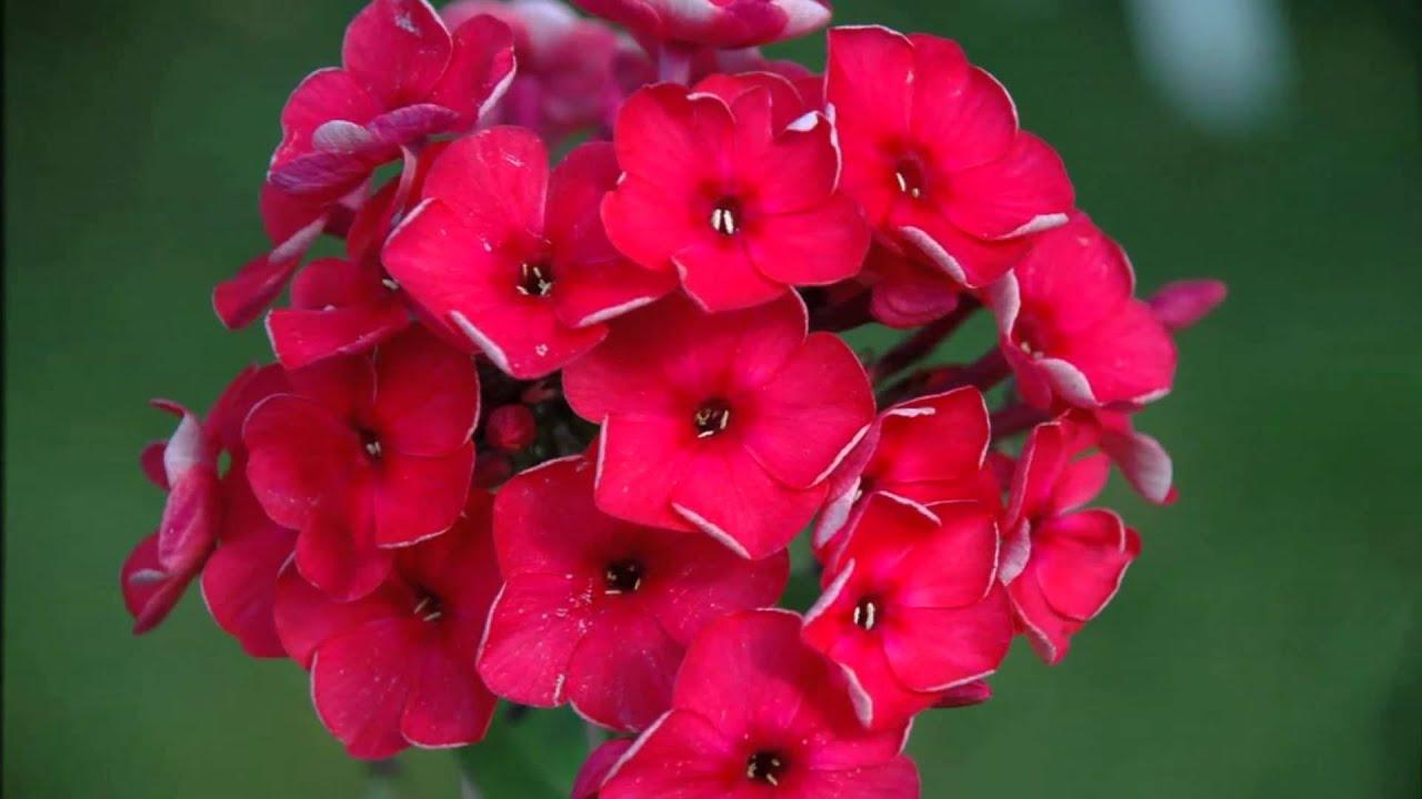 Однолетние флоксы - личный опыт выращивания, красивая 73