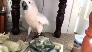 Cockatoo finding out he is going to the vet