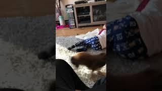 Little Dog Attacking Boy!