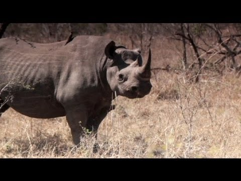 Hunters drive rhinos to extinction in West Africa