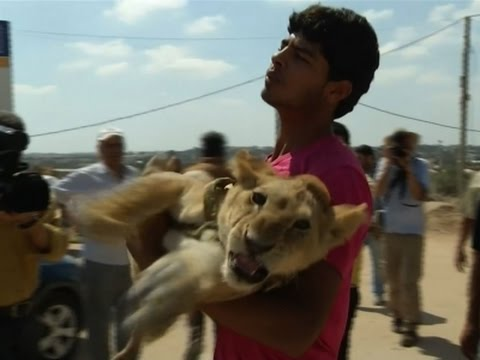Raw: Lion Cubs Taken from Gaza Refugee Camp