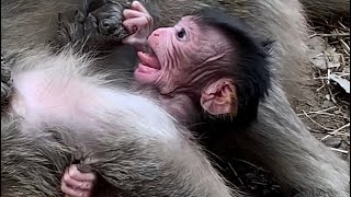 Mum Ignores to new baby monkey/poorest baby gets pressure from mum Youlike Monkey