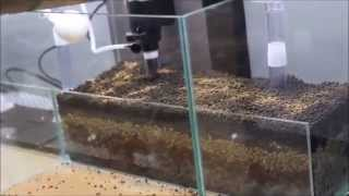 Possibility of shrimps  ( twb, pinto, prl , taitibee etc....) tank set up (1)