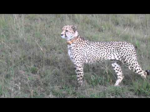Cheetahs spotted at Nambiti Hills Private Game Resave - Le Sueur Cheetah Project