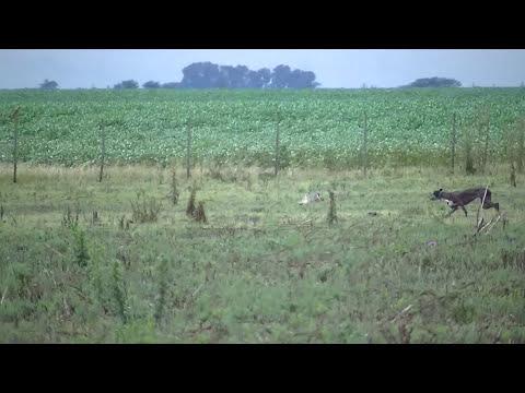 caza de liebres con galgos 2013 chacabuco