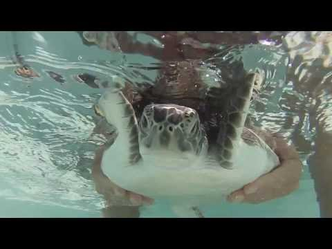 Green Turtle Rescued and released in Jamaica  GoPro 3