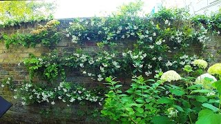 Re-tying espalier of a climbing Rose, a Wisteria and a Trachelospermum to a wired wall