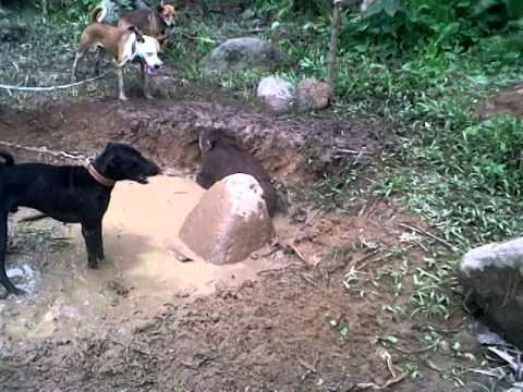 Babi vs Anjing ( MTR PADANG )
