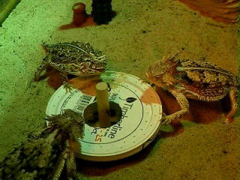 Lizards Eat Ants Horned Lizards Eat From Ant