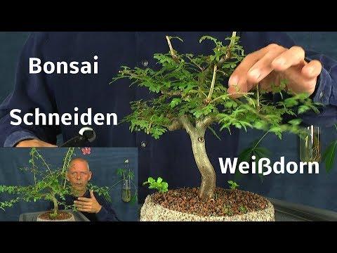 Bonsai Weißdorn Rückgestaltung Wundverschluss