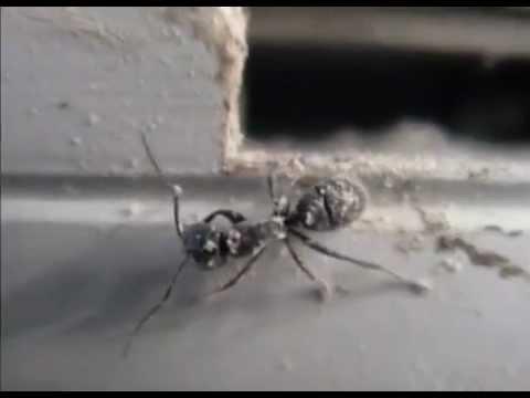 Blow ants diatomaceous earth
