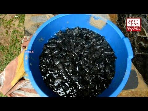 400 baby turtles rel|eng