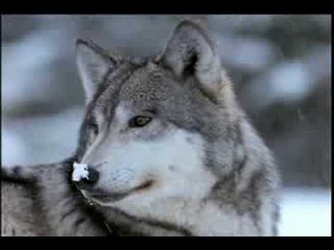 Living with Wolves Part 11 Video