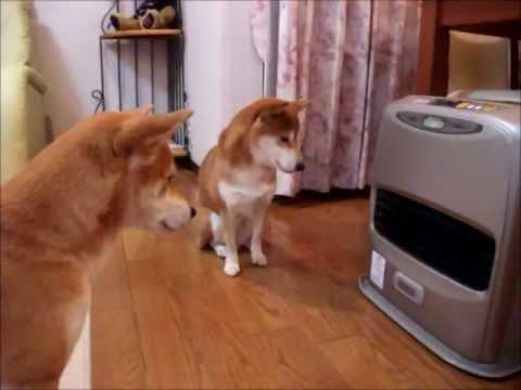 ファンヒーター点火を待つ柴犬たち