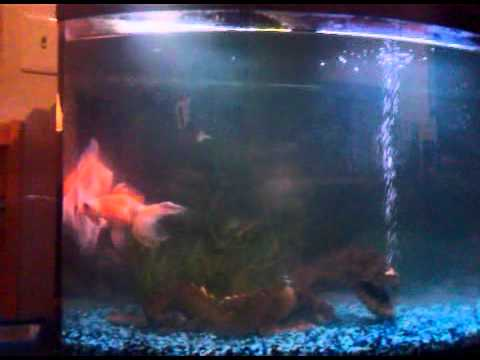 Goldfish laying eggs youtube for Black fish eggs