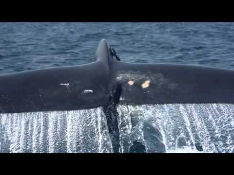 Blue Whales Of Sri Lanka video