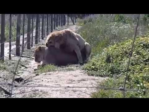Lions Having Sex, Bonobo Style   South Africa thumbnail