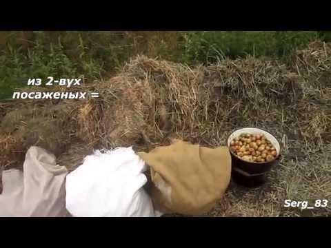 Выращивание картофеля на соломе без перекопки 77