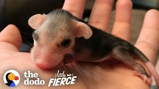Tiniest Pink Baby Opossum Grows up to Be Adorably Ferocious | The Dodo Little But Fierce