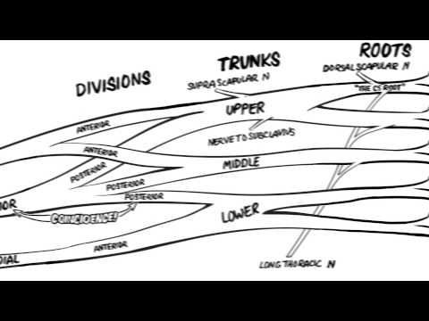 Brachial Plexus Nerve Roots Made Easy! And How To Draw It.