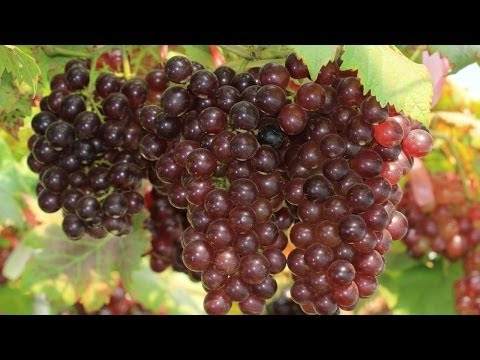 10 Things You Didn't Know About Grapes