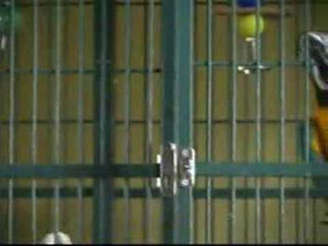 Jail Bird (Cockatoo opens locked cage from the inside)