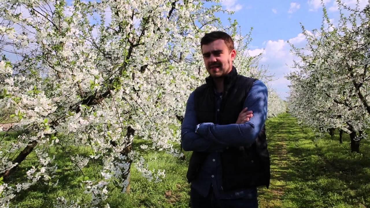 uprawa wiśni
