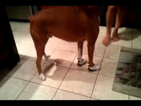 Dogs Wearing Jordans Boxer Wearing Jordans