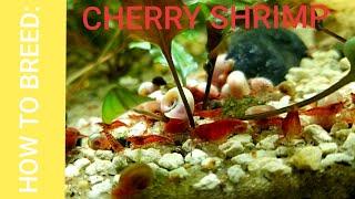 HOW TO: BREED CHERRY SHRIMP (Neocaridina Davidi)
