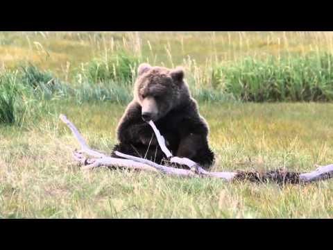 Brown Bear Play Time Daily tours from Homer, Alaska with Alaska Bear Adventures.