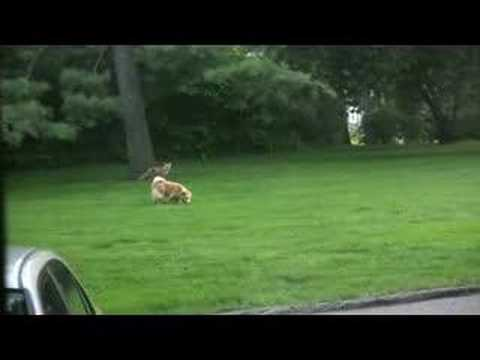 Fox and dog playing in yard (fox scream at end)