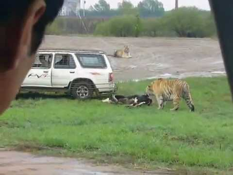 Tigers Eat Goat Tiger Eats Live Cow