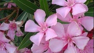 Adelfa planta venenosa conocida como laurel de jardín, rosa laurel, baladre.