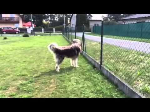 Caucasian Shepdog barking, štěkot kavkazáka Igora