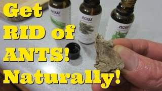 How to GET RID of ANTS in Your Kitchen!  Natural Remedy for Ants!