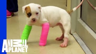 Remember Blanche? Cute Puppy in Casts, with the STINKIEST Poo