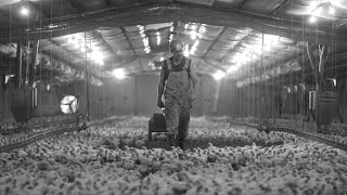 Cock Fight Act 1: One Man's Battle Against The Chicken Industry